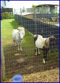 Ponies greet visitors